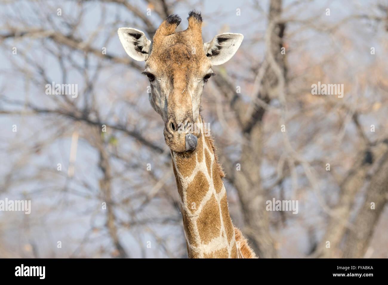 Giraffe bere il Parco Nazionale di Etosha Namibia Immagini Stock