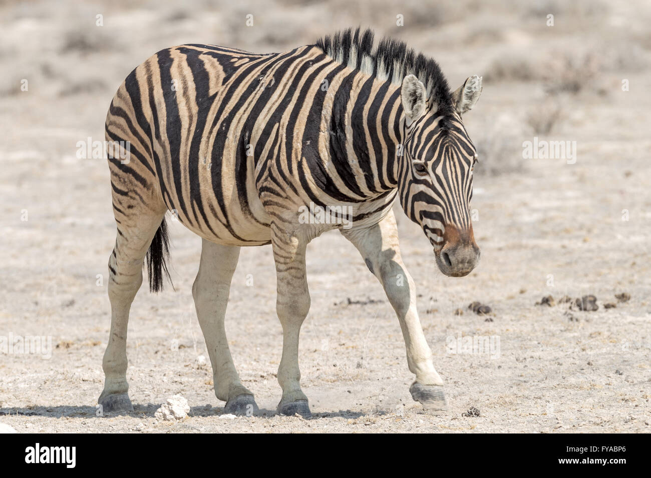 Plain's Zebra Chapman di gara a piedi lungo la strada Parco Nazionale Etosha Namibia Immagini Stock