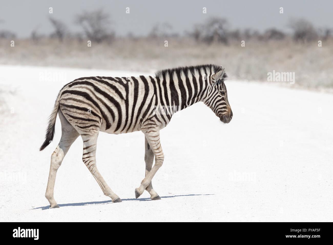 Plain's Zebra Chapman la gara del Parco Nazionale di Etosha Namibia Immagini Stock