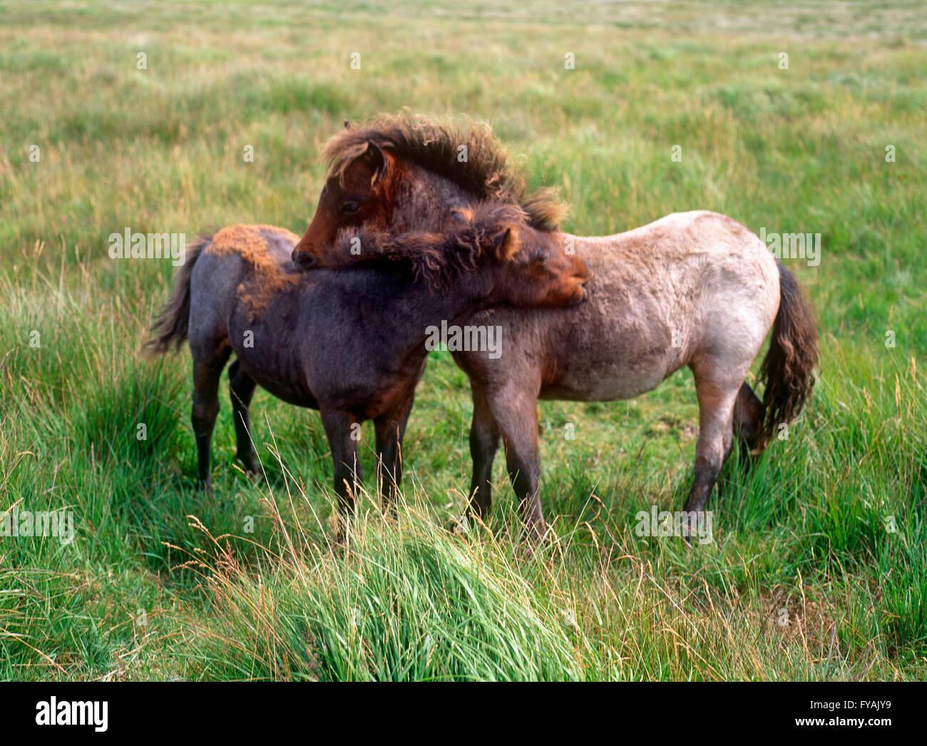 Due pony coccolati fino a ciascun altro, all'esterno. Immagini Stock