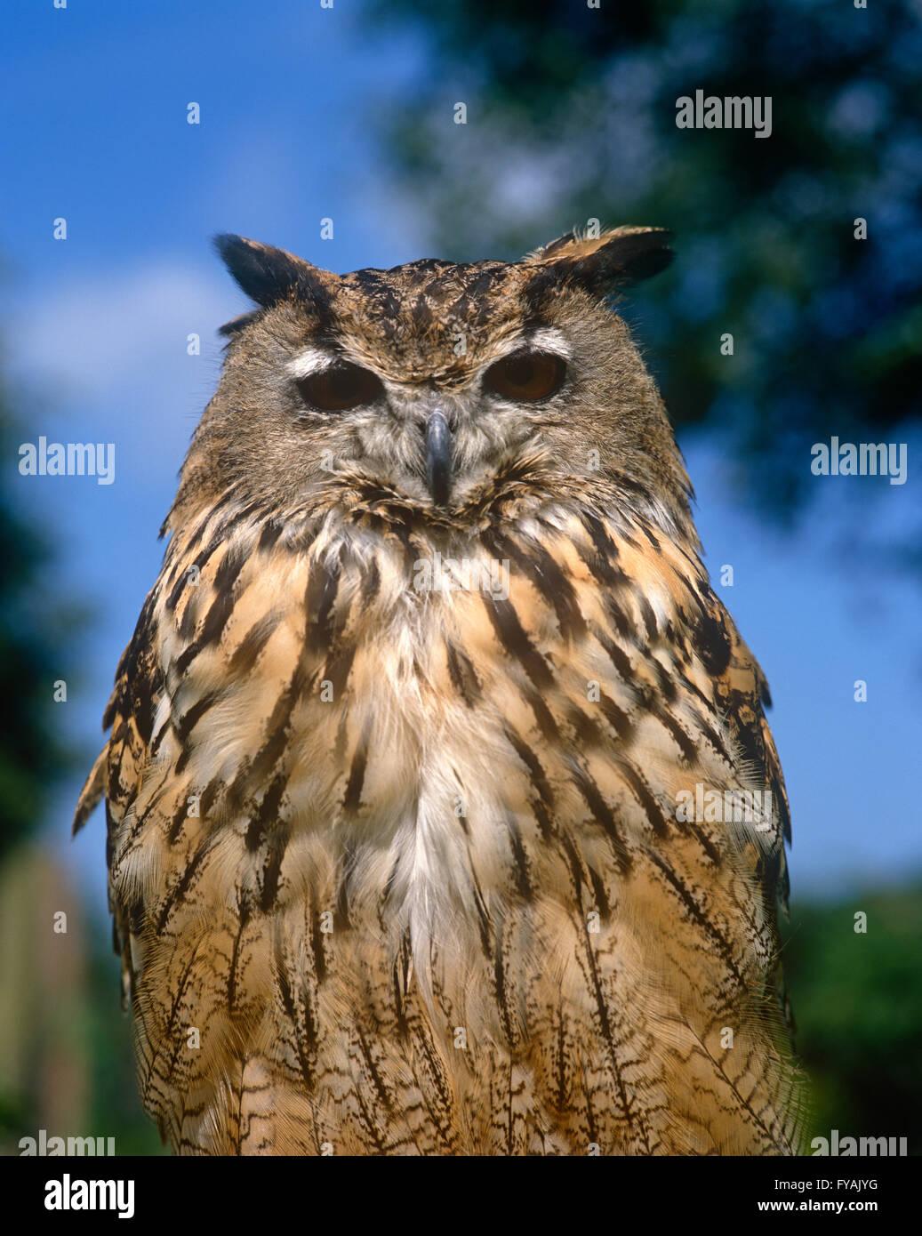 Owl fissando nella fotocamera, all'esterno. Immagini Stock