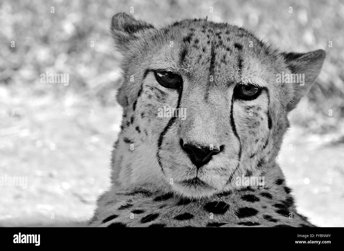 South African cheetah faccia un contatto ravvicinato e personale Immagini Stock