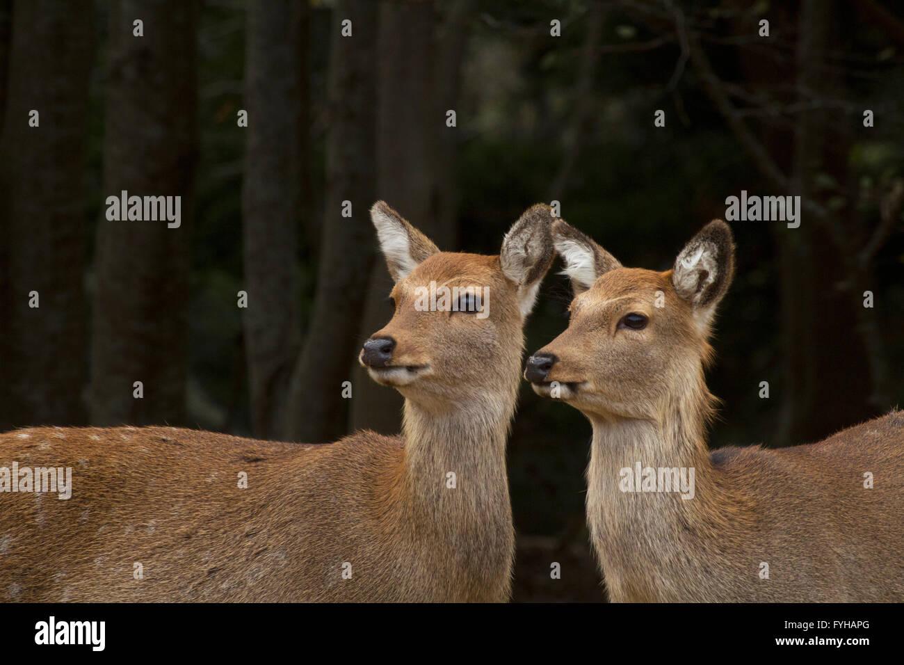 2 femmina Sika cervo (Cervus nippon), noto anche come il cervo macchiato o il giapponese cervi, Kinkazan Isola, Immagini Stock