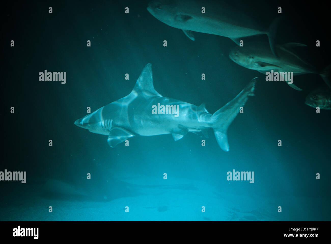Grande squalo fotografia subacquea nel profondo blu dell'acqua. Immagini Stock