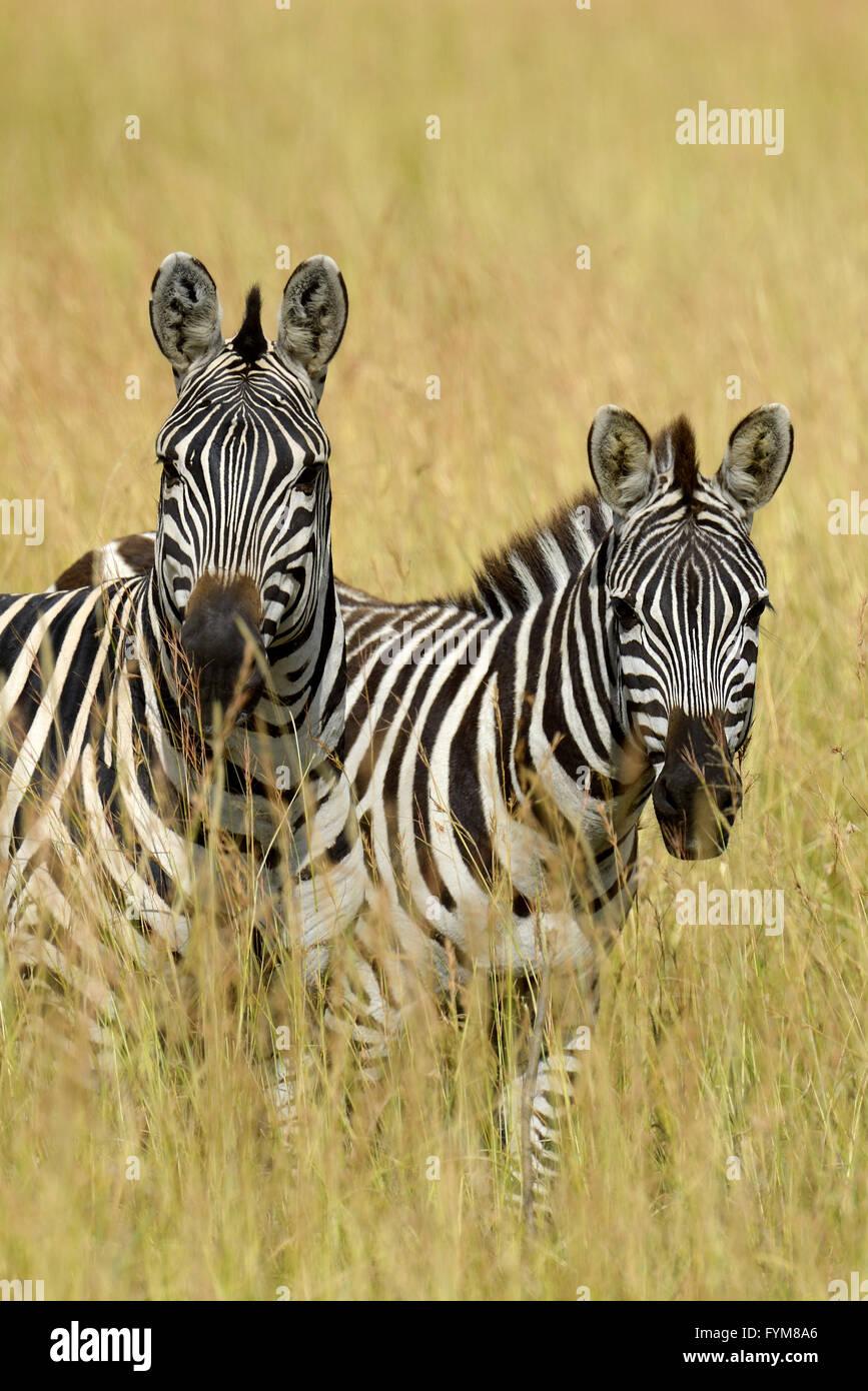 Zebra su pascoli in Africa, il parco nazionale del Kenya Immagini Stock