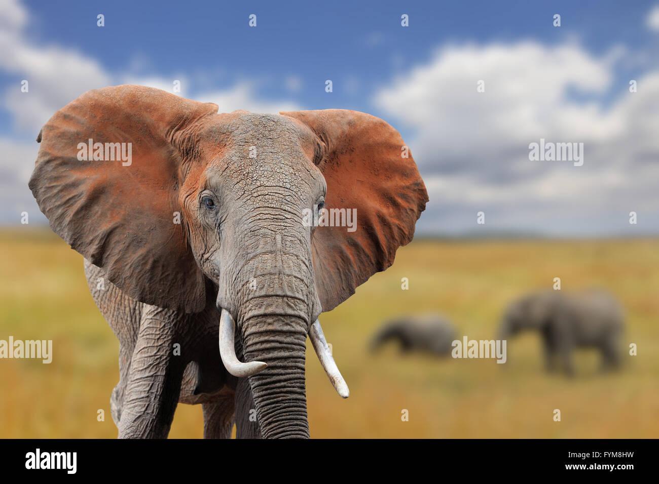 Elefante su Savannah in Africa, il parco nazionale del Kenya Immagini Stock