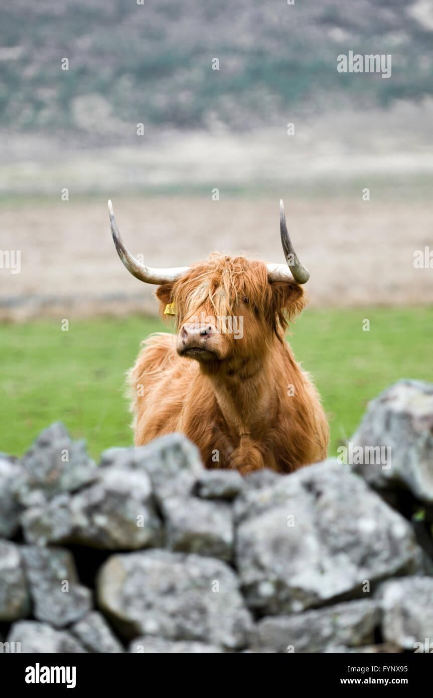 Highland mucca guardando oltre il muro, preso in Glen Cassley, Sutherland, Scozia Immagini Stock