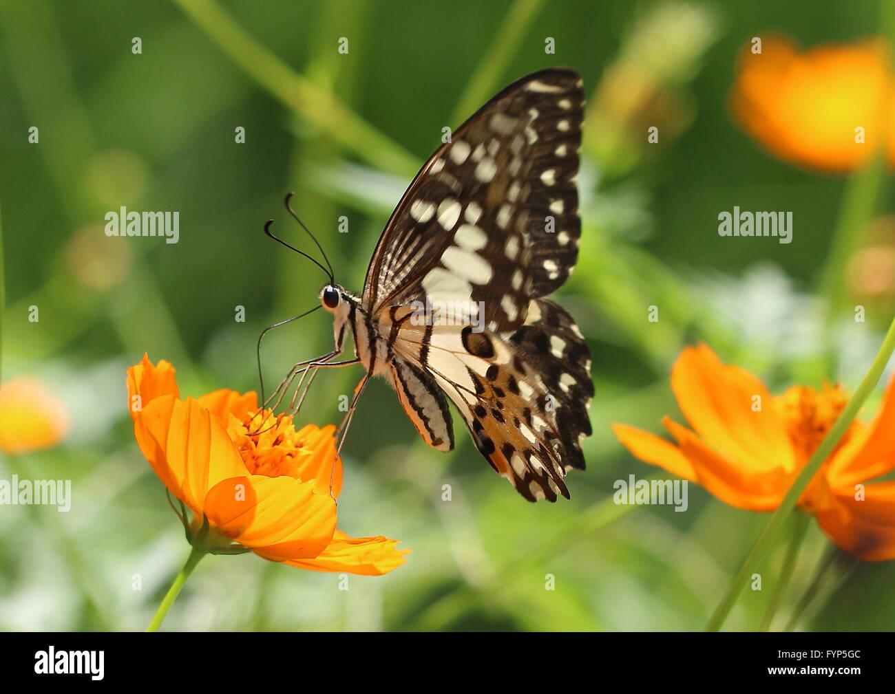 Calce comune butterfly Papilio demoleus, sul cosmo fiore. Noto anche come il limone butterfly, calce a coda di rondine Immagini Stock