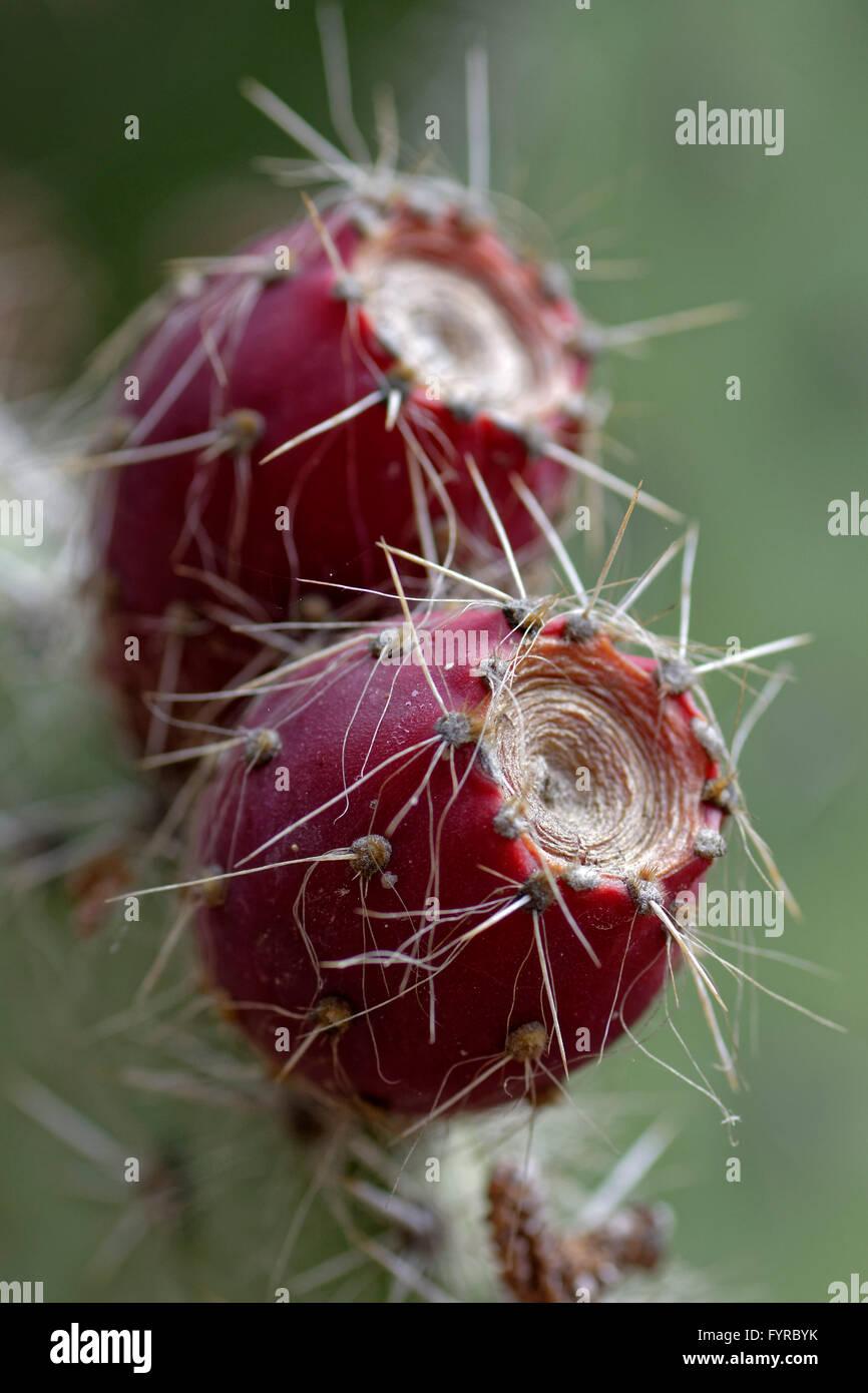 Frutos de cactus de la especie Opuntia leucotricha, vulgarmente conocido como Nopal blanco. Procedente de México. Immagini Stock