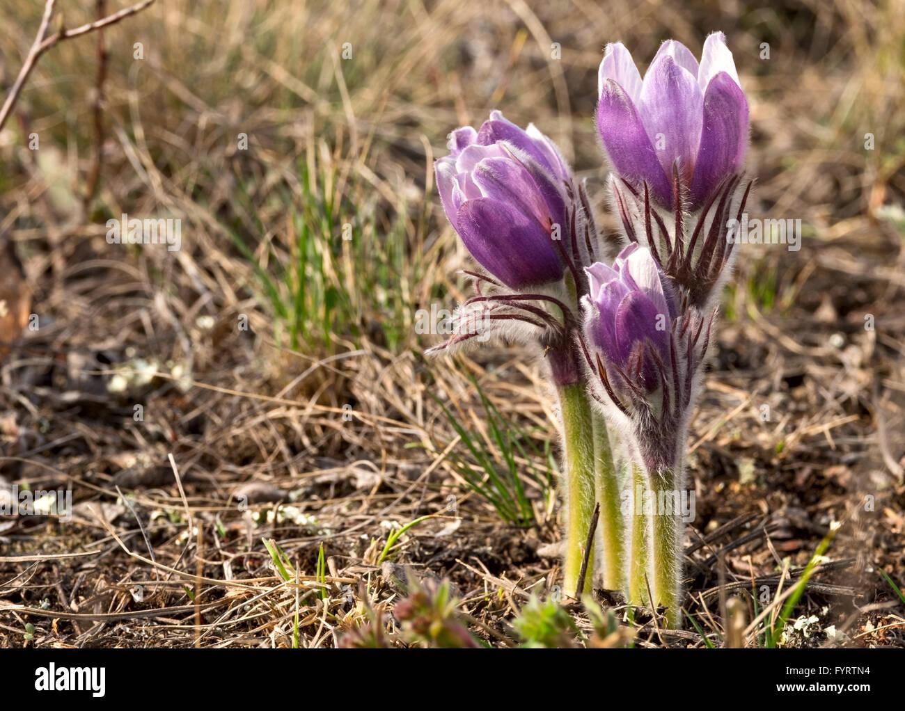 Pulsatilla patens close-up - primi fiori di primavera Immagini Stock