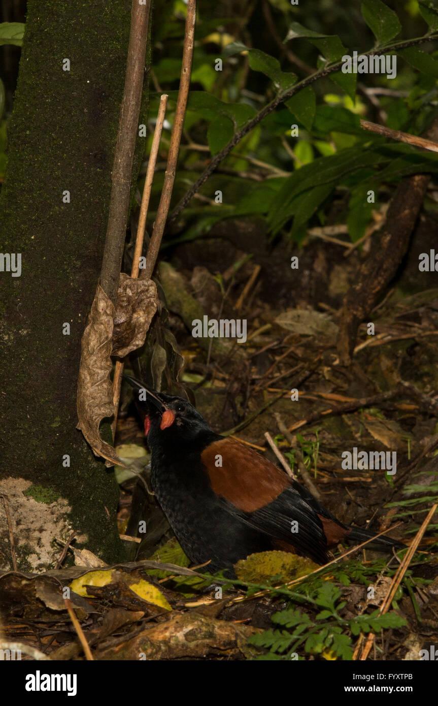 L'Isola del nord a doppio spiovente è un wattlebird nel passerine bird group ed è endemica in Nuova Zelanda. Foto Stock