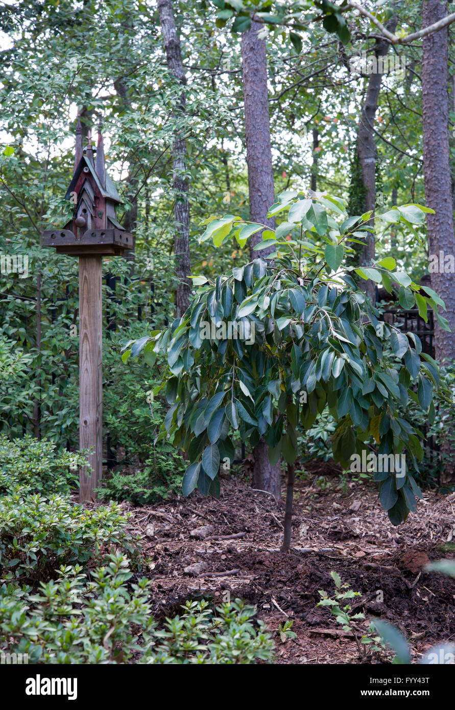 Diospyros virginiana, fontana magica,Persimmon, piangendo tree Immagini Stock