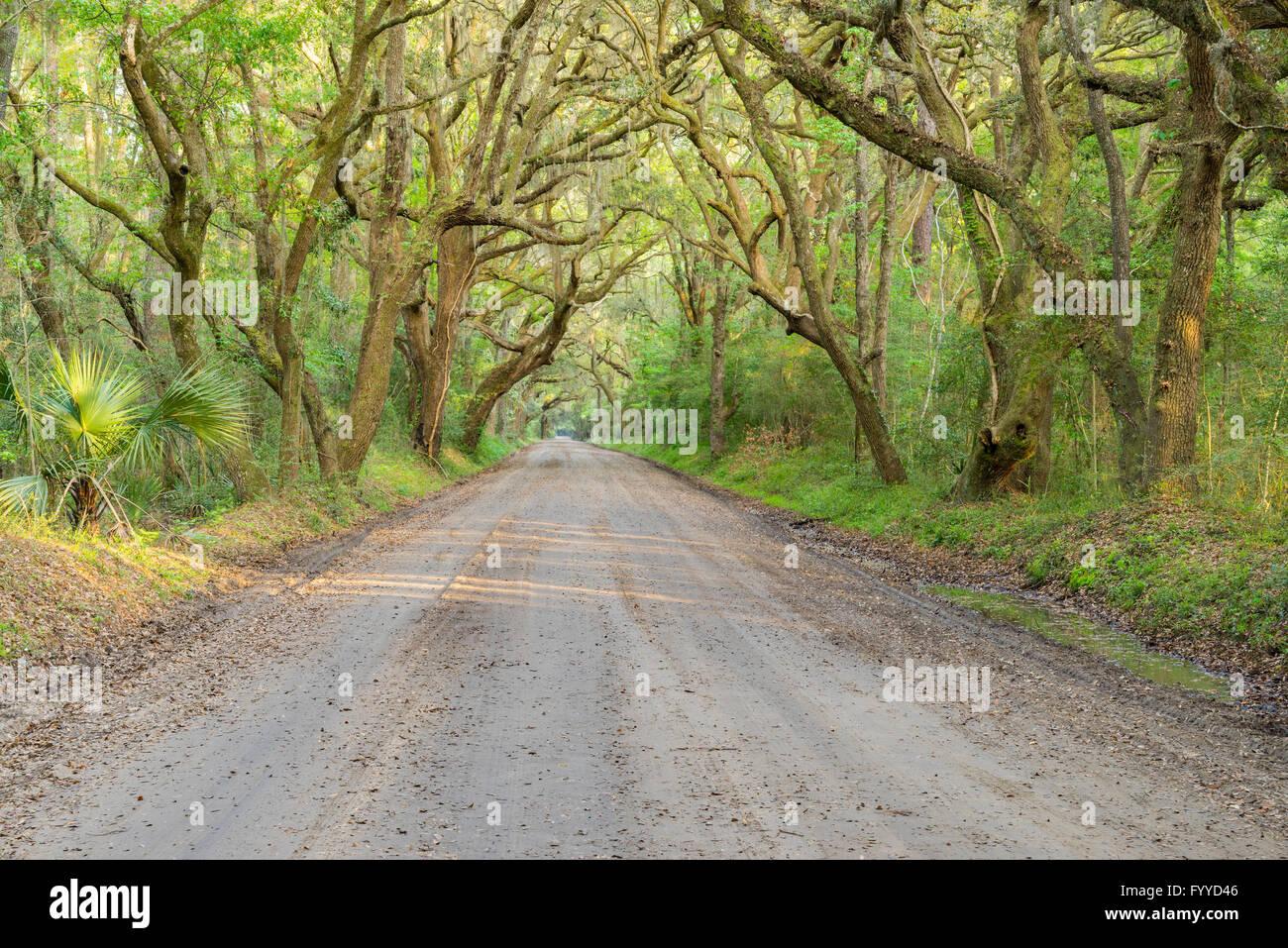 Strada sterrata che passa sotto la tettoia di lecci e lussureggiante vegetazione verde nel profondo sud degli Stati Uniti. Foto Stock