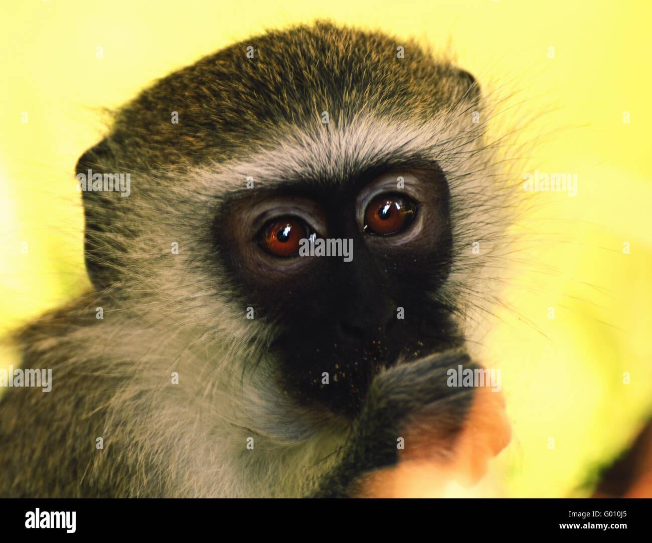 Sognando la scimmia Immagini Stock