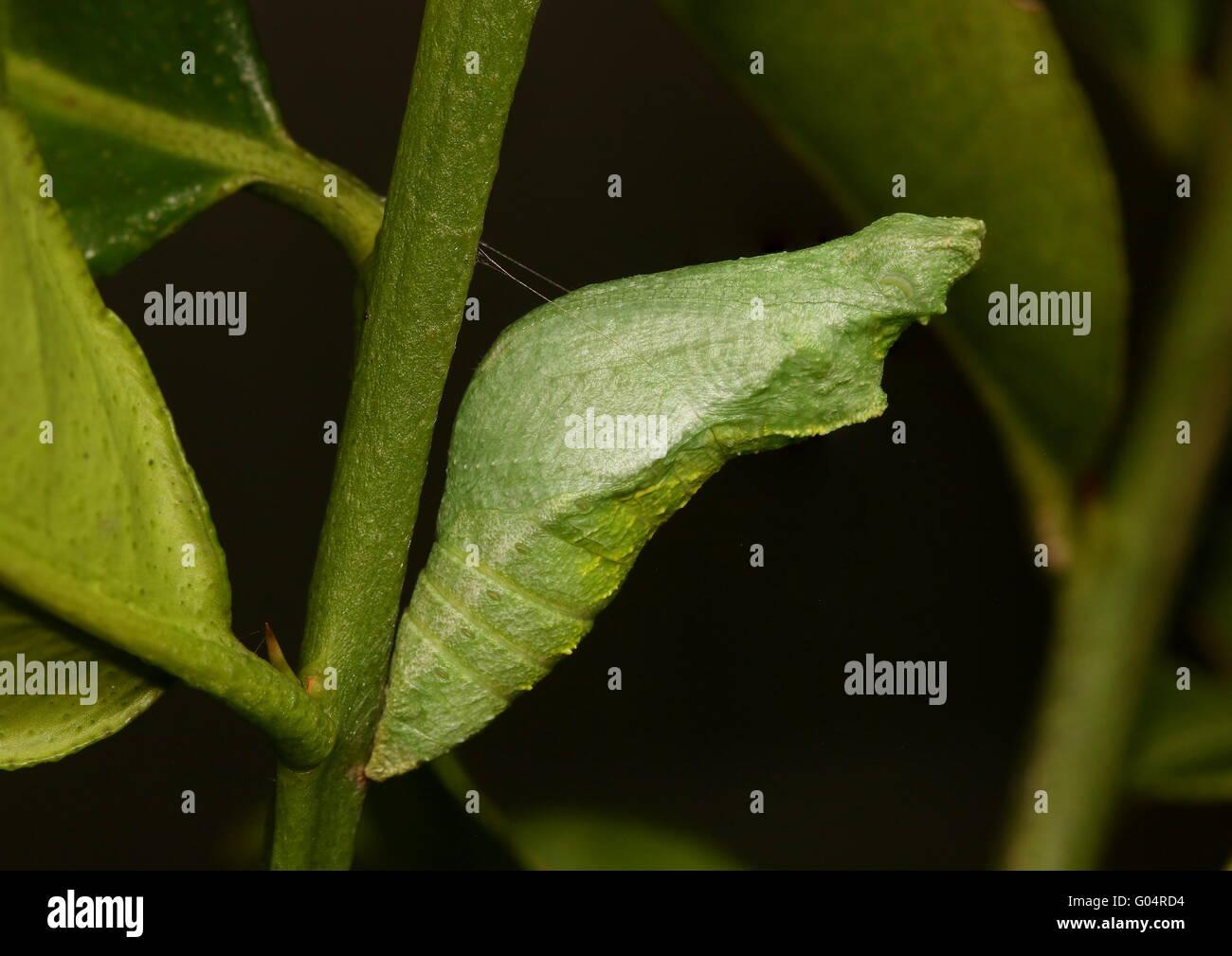 Crisalide di calce comune butterfly Papilio demoleus, trattenuto saldamente in posizione su un tiglio succursale Immagini Stock