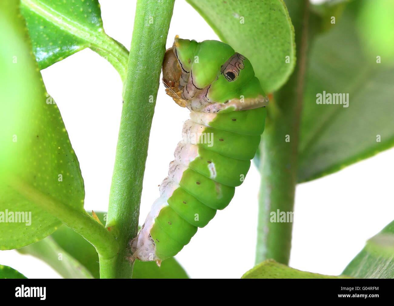 Caterpillar della calce comune butterfly - Papilio demoleus - appeso su un tiglio ramo e iniziando la crisalide Immagini Stock