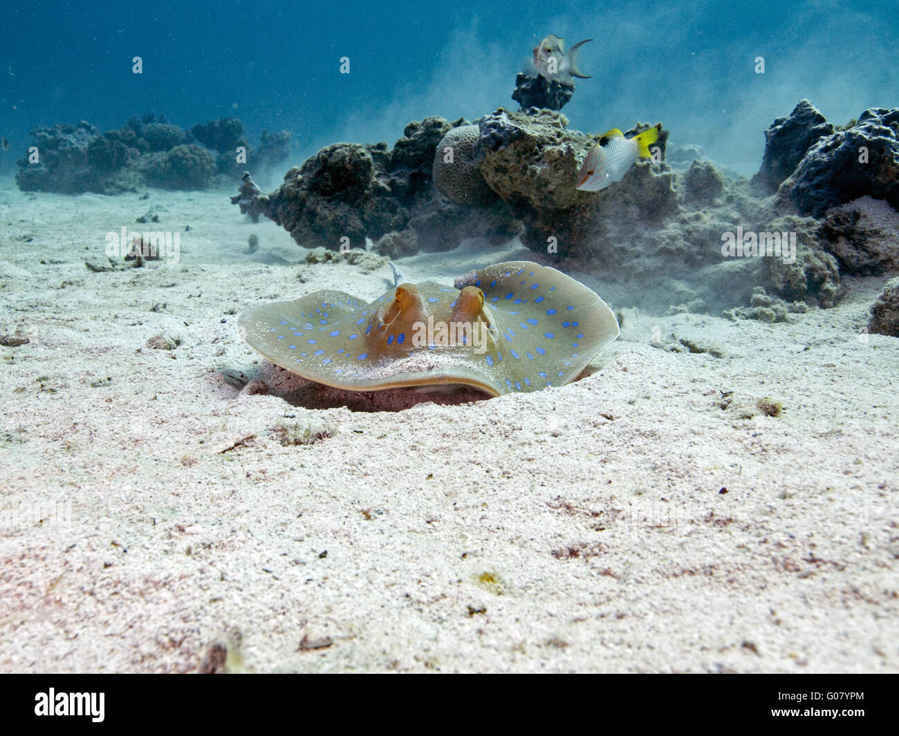 Bluespotted ribbontail ray Immagini Stock