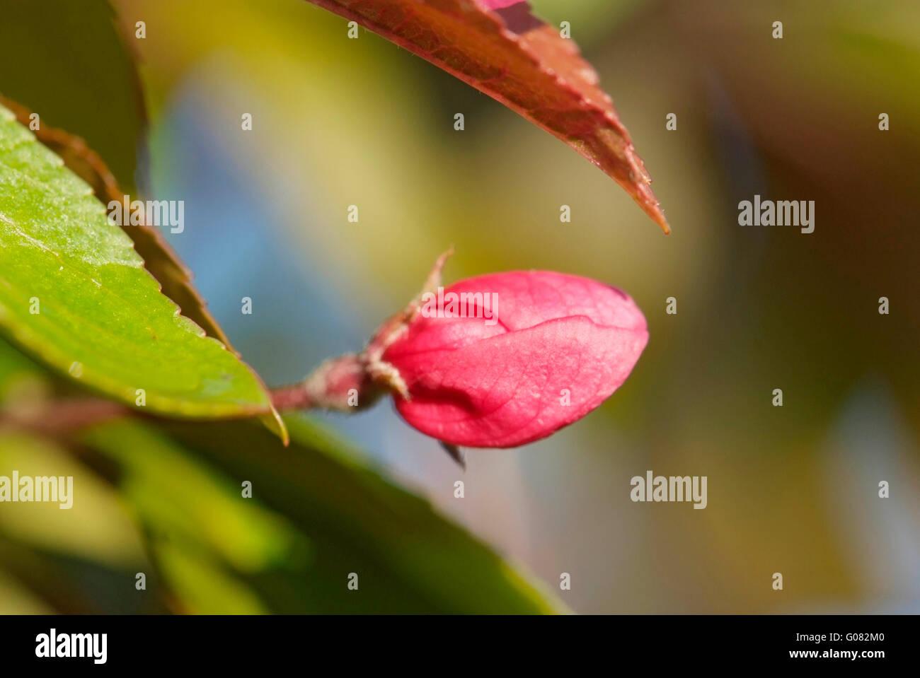 Close up fiore del melo Immagini Stock