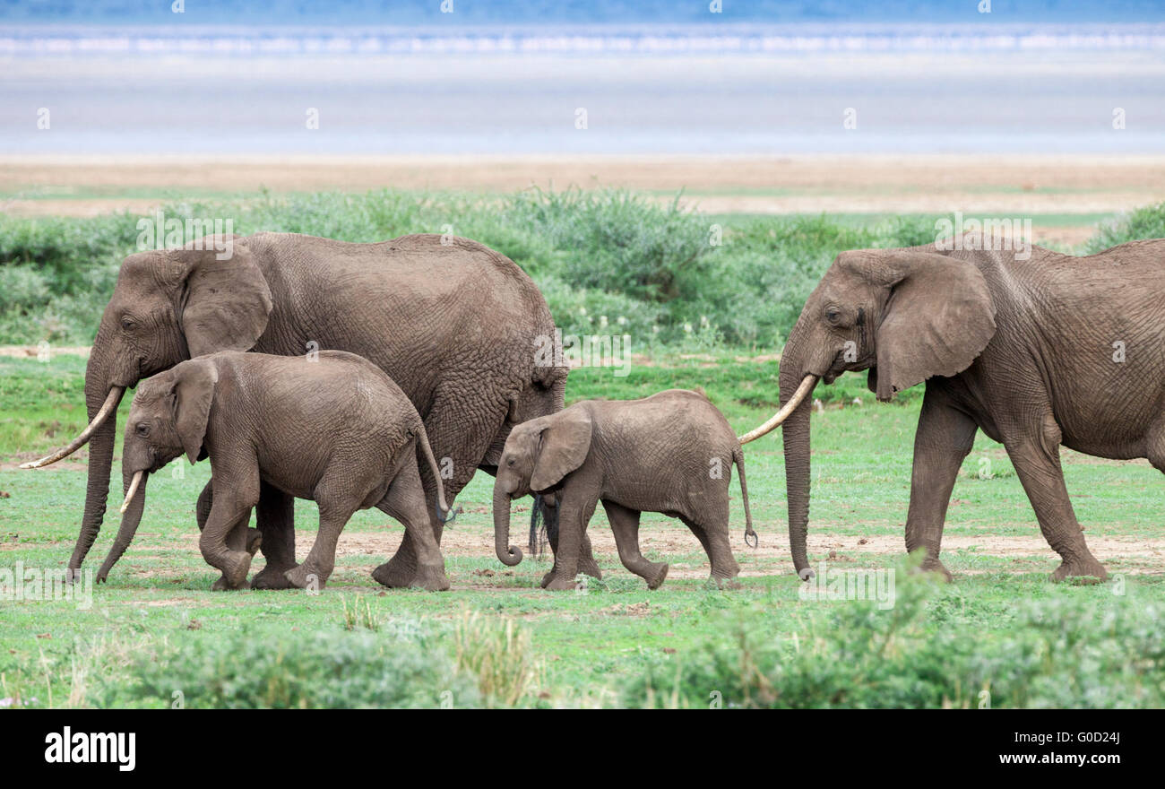 Elephant Group sulla savana, Lake Manyara National Park, Tanzania Africa orientale Immagini Stock