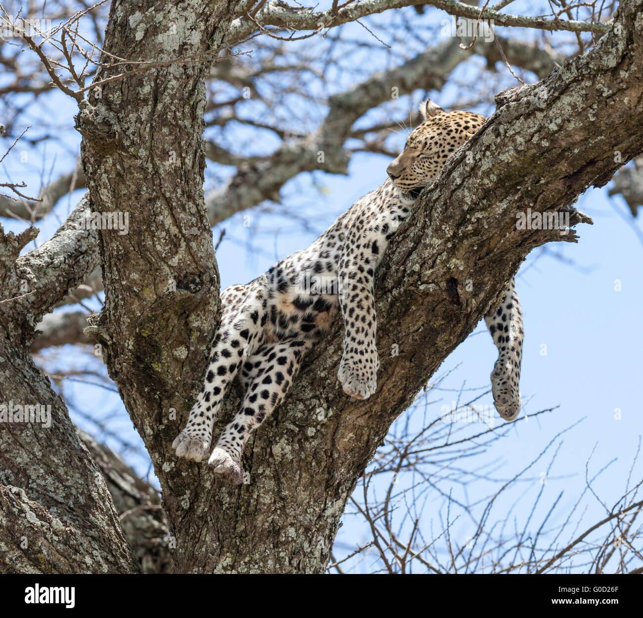 leopard-dormire-su-di-un-ramo-di-albero-dopo-una-battuta-di-caccia-serengeti-national-park-tanzania-g0d26f.jpg