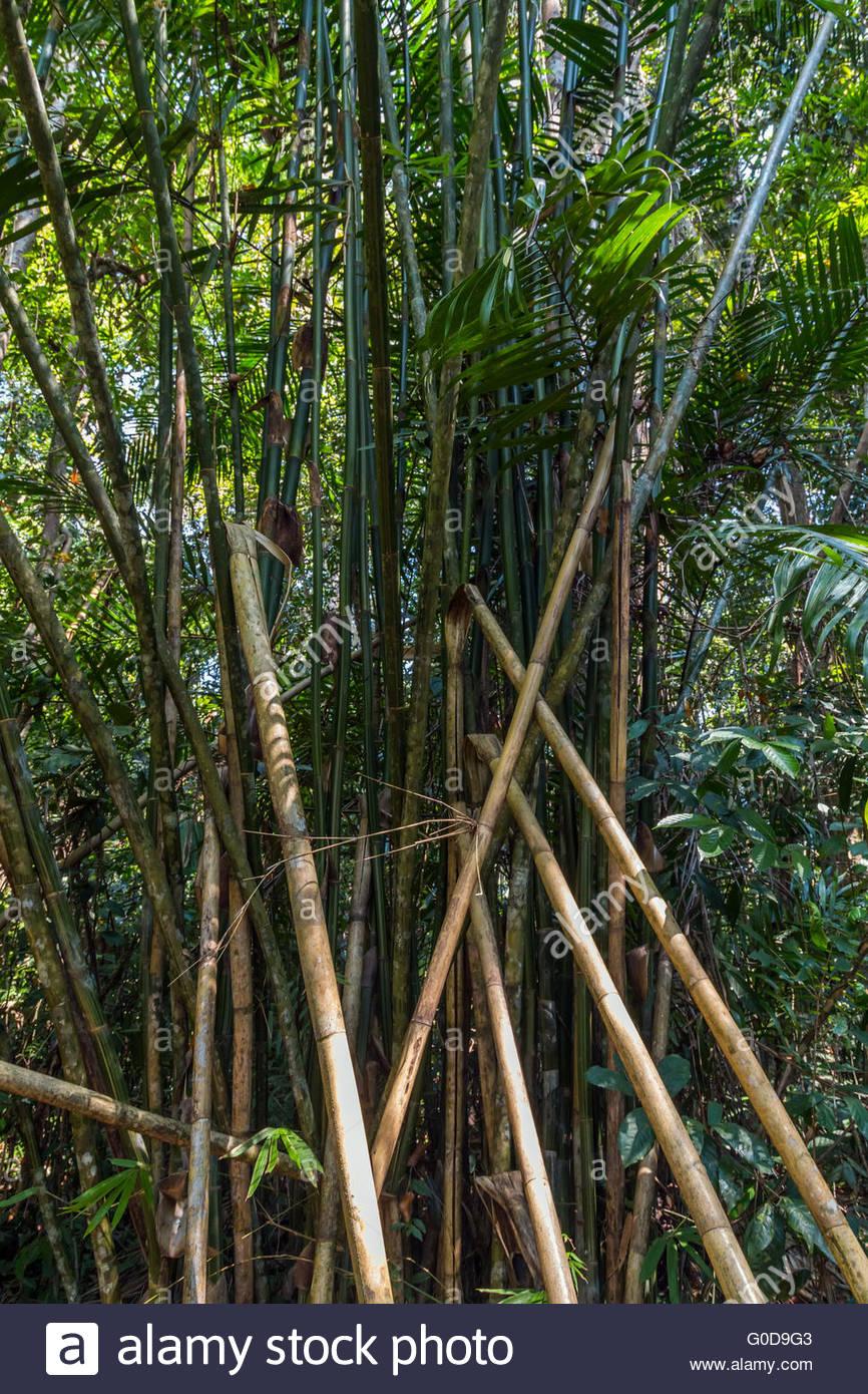 foresta di bambù Immagini Stock