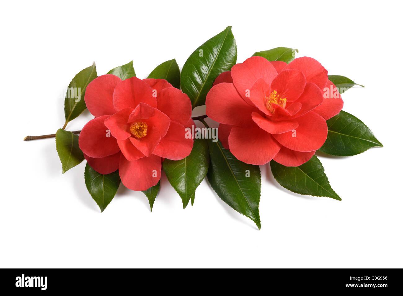 Due red camellia fiori isolati su sfondo bianco Immagini Stock