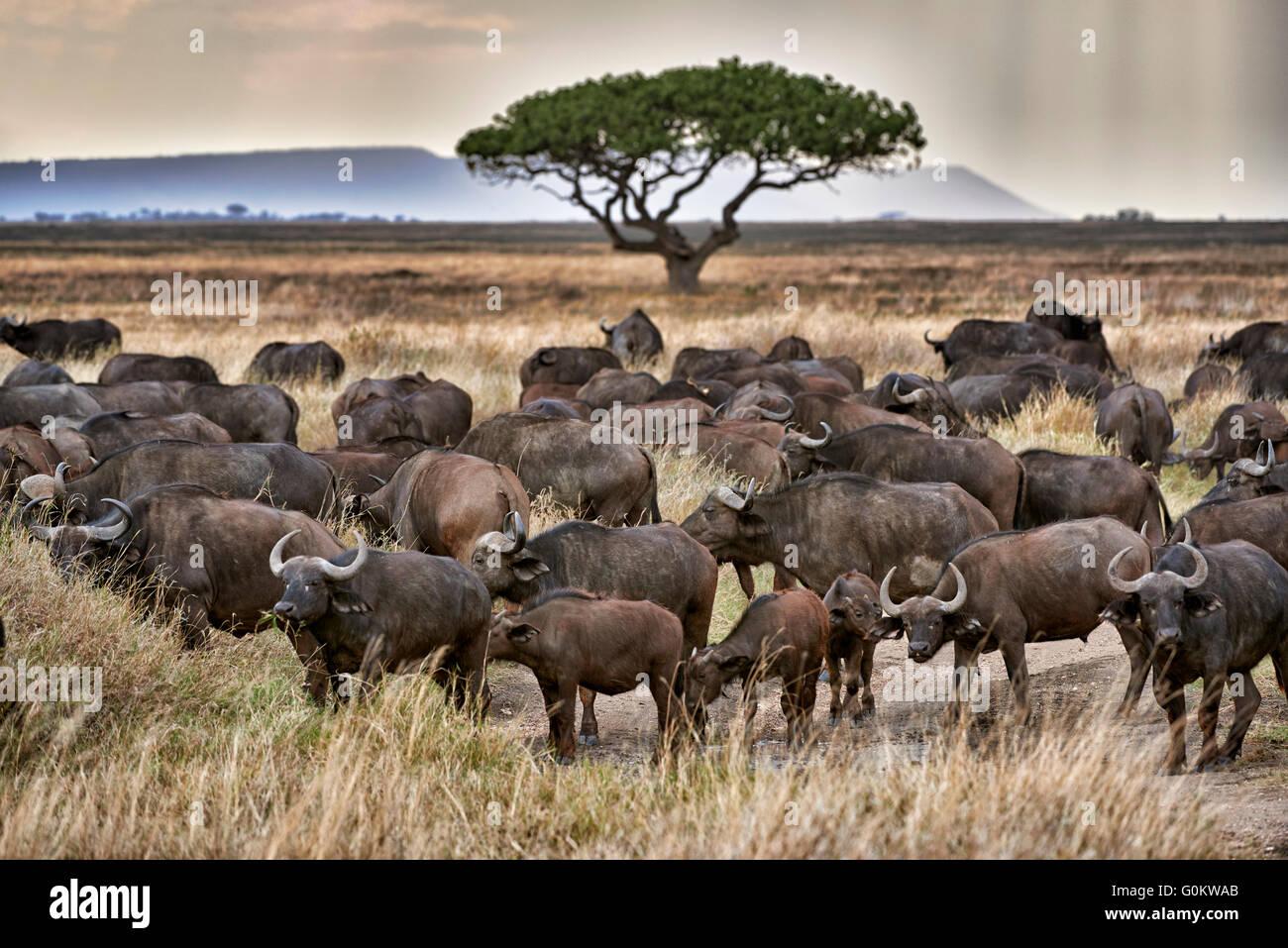 Mandria di bufali africani (Syncerus caffer) al tramonto nel Parco Nazionale del Serengeti, sito patrimonio mondiale Immagini Stock