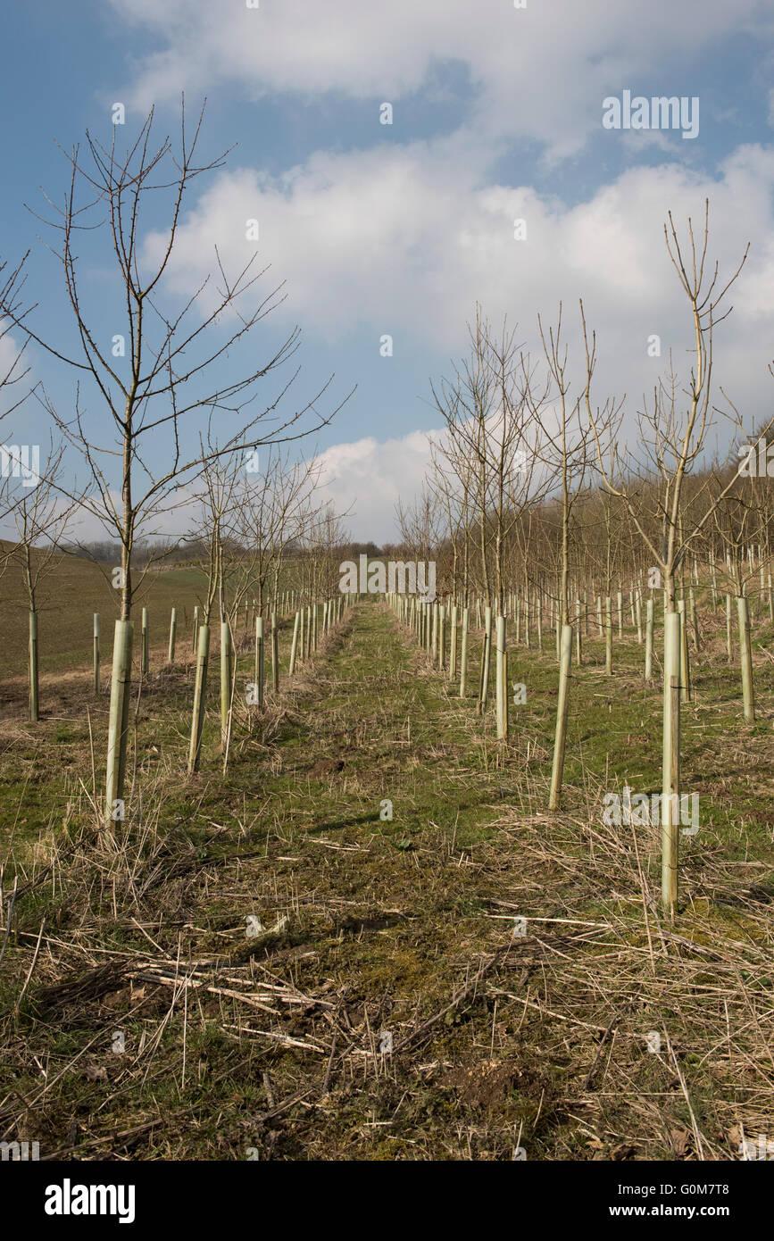 Giovani sfrondato nudo alberi decidui con protezioni di plastica in una fattoria bosco piantagione in primavera, Immagini Stock