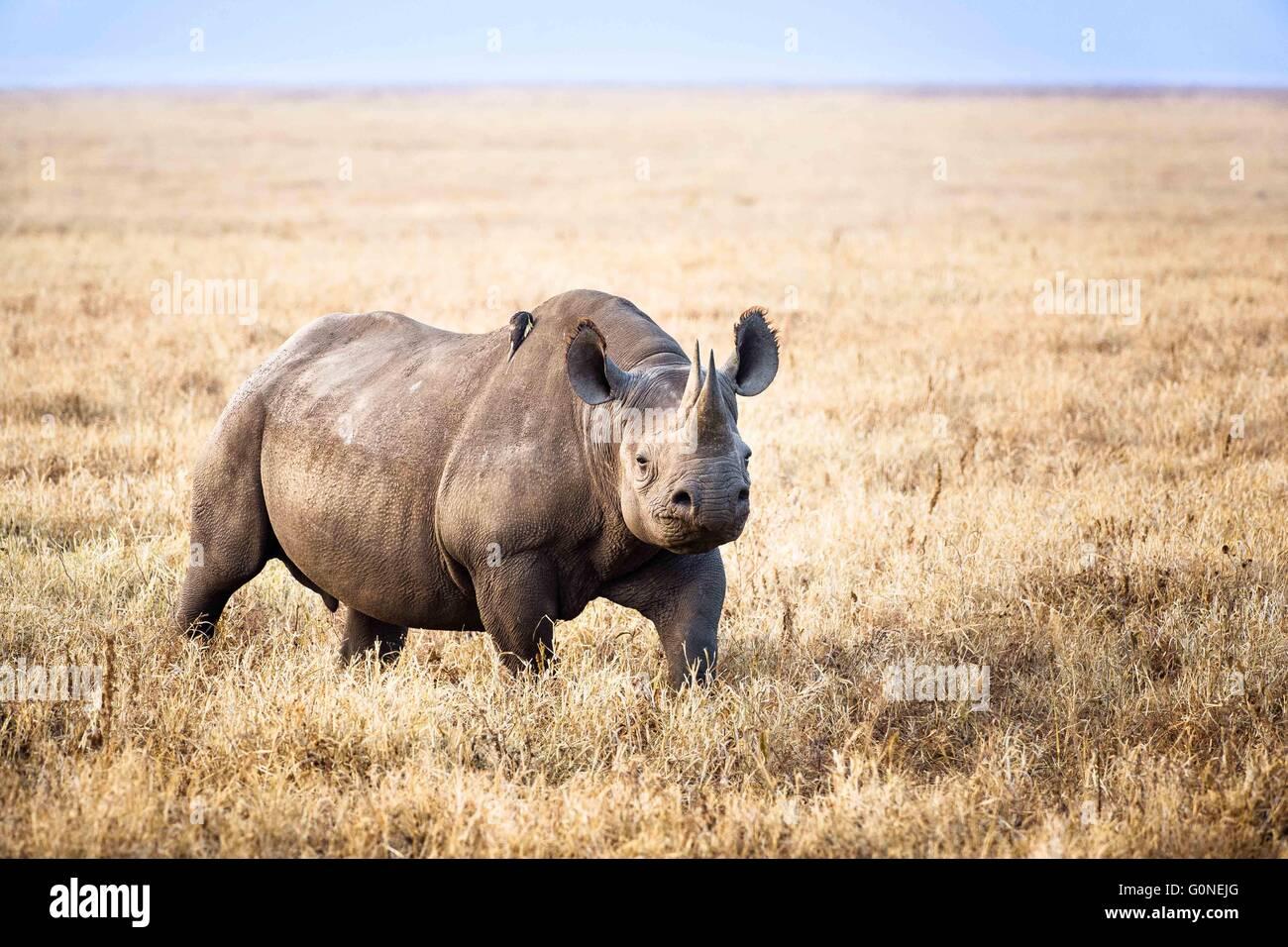 Rhino sulla propria Immagini Stock