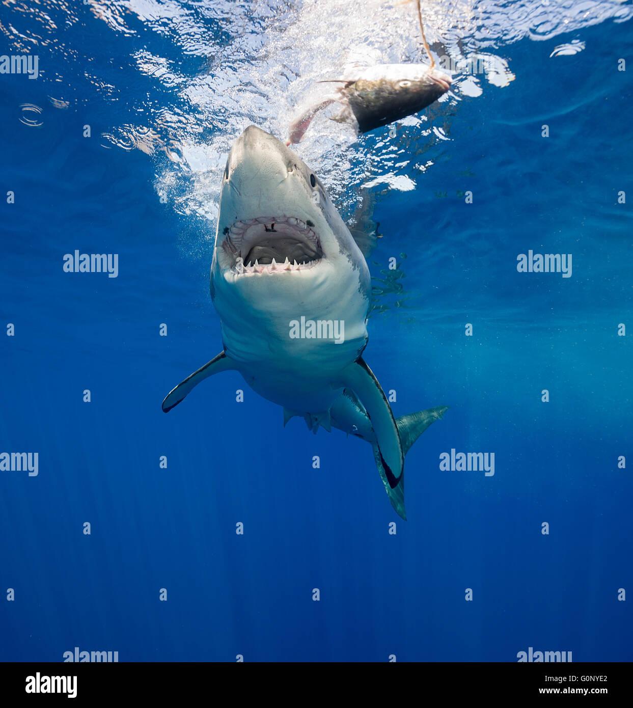 Il grande squalo bianco sott'acqua di Guadalupe Island, Messico Immagini Stock