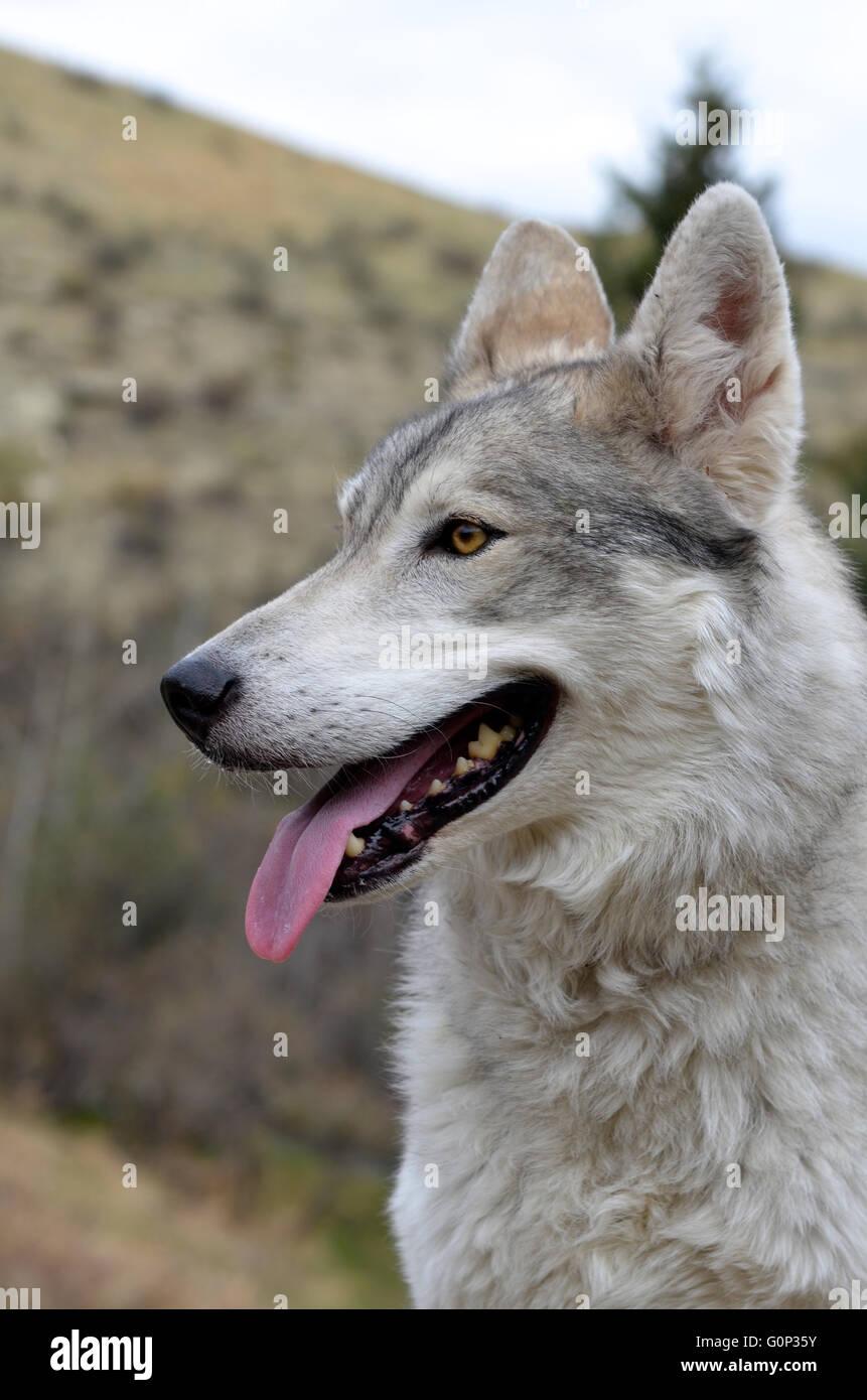 Wild Wolf in Canada Immagini Stock