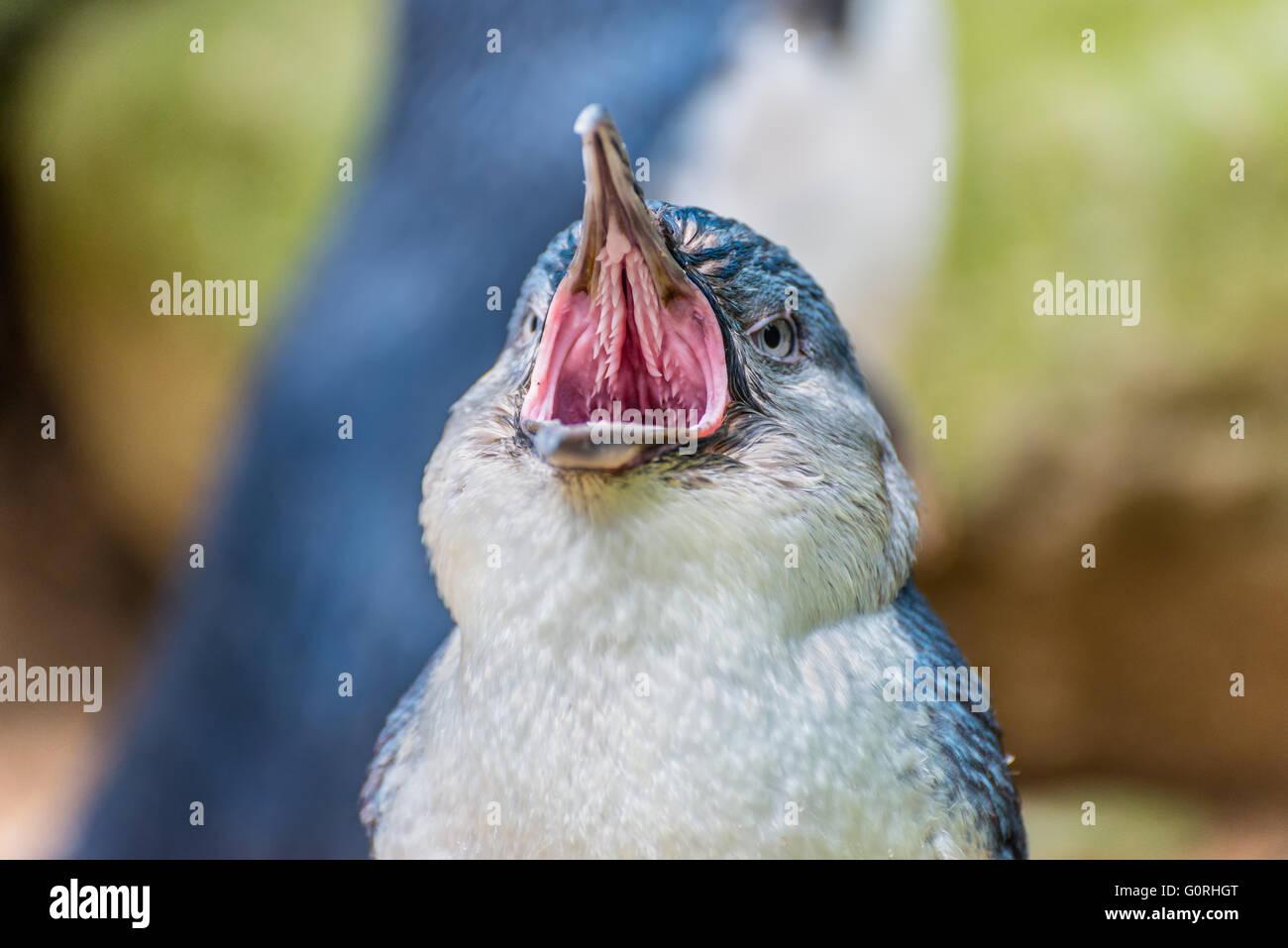 Penguin close up verticale con la bocca aperta Immagini Stock