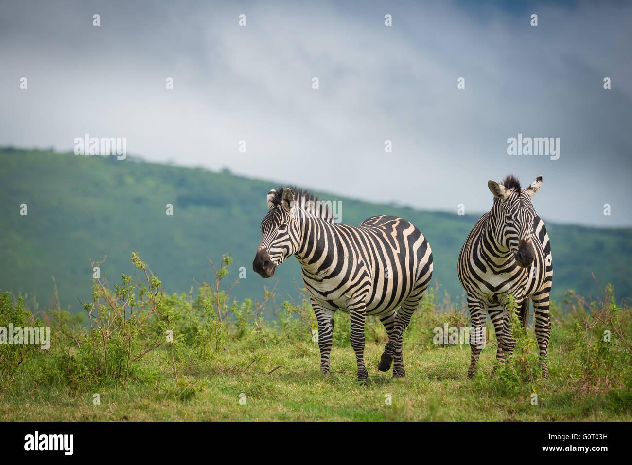 Zebre selvatiche a piedi attraverso le fertili pianure del cratere di Ngorongoro in Tanzania Africa orientale Immagini Stock