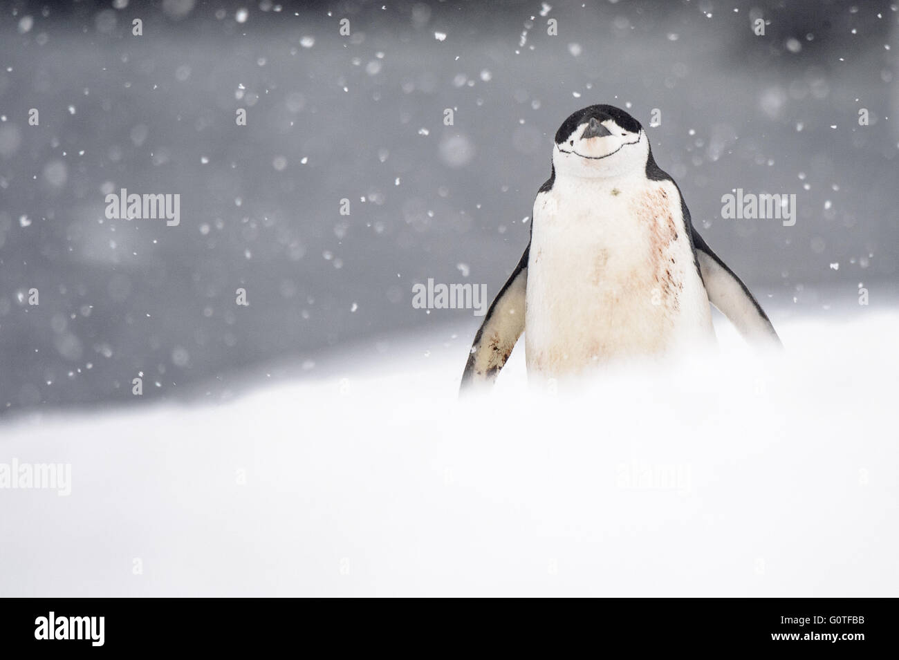 Di pinguini dal sottogola in una tempesta di neve Immagini Stock