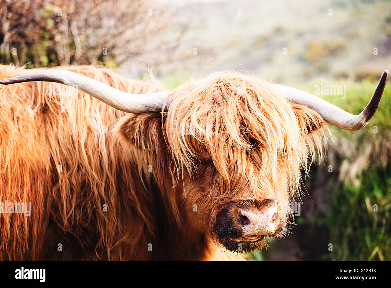 Highland bovini sul Exmoor Immagini Stock