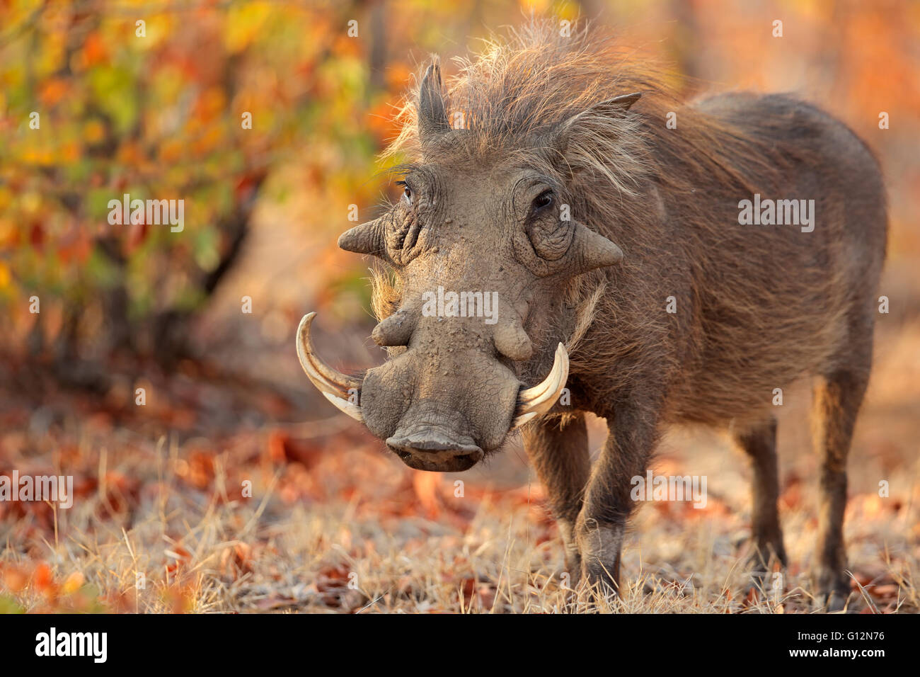 Warthog (Phacochoerus africanus) in habitat naturale, il Parco Nazionale Kruger, Sud Africa Immagini Stock