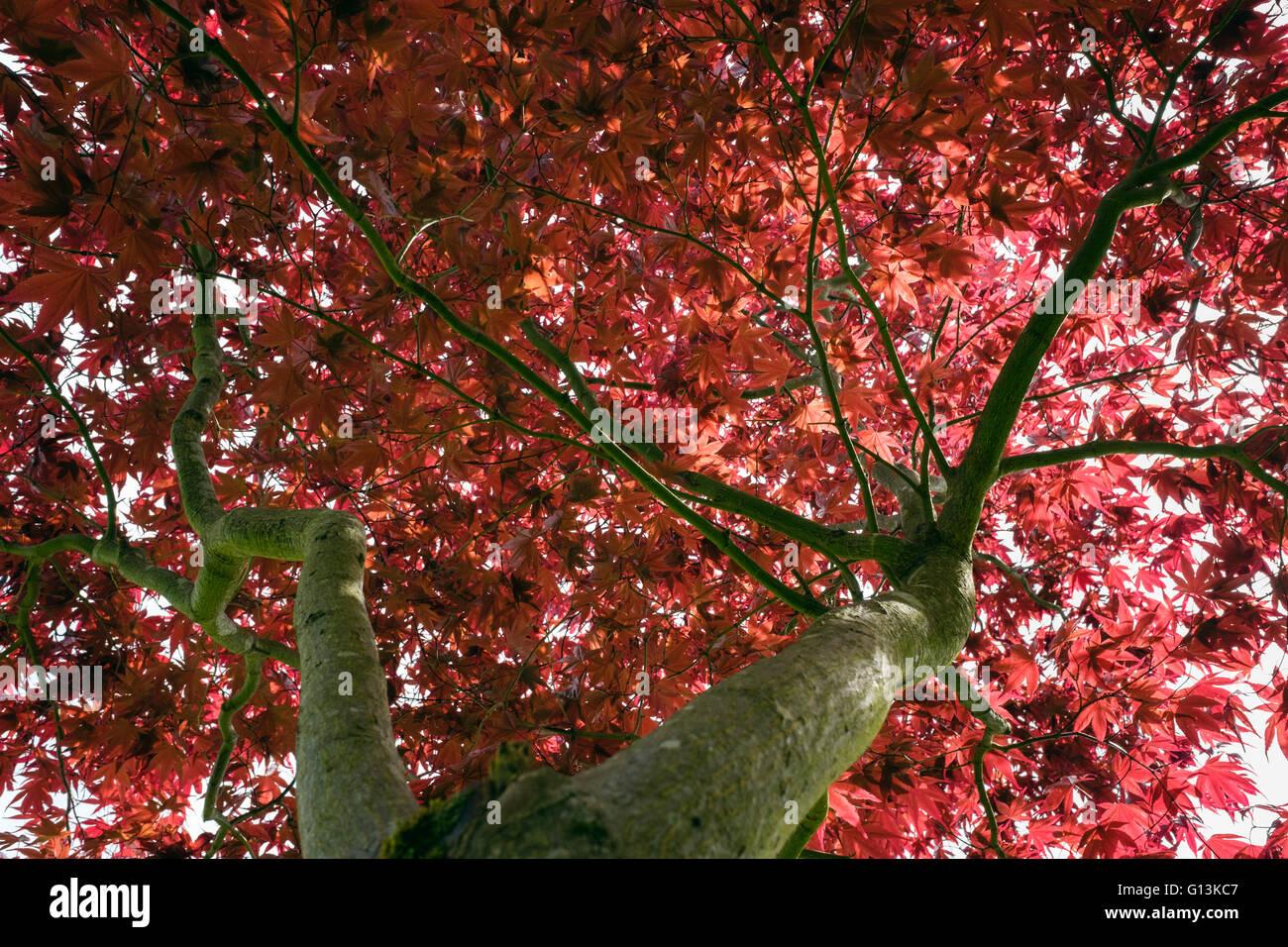 "Rosse foglie di acero giapponese Acer palmatum Atropurpureum ""' visto da sotto con inizio estate fogliame Immagini Stock"