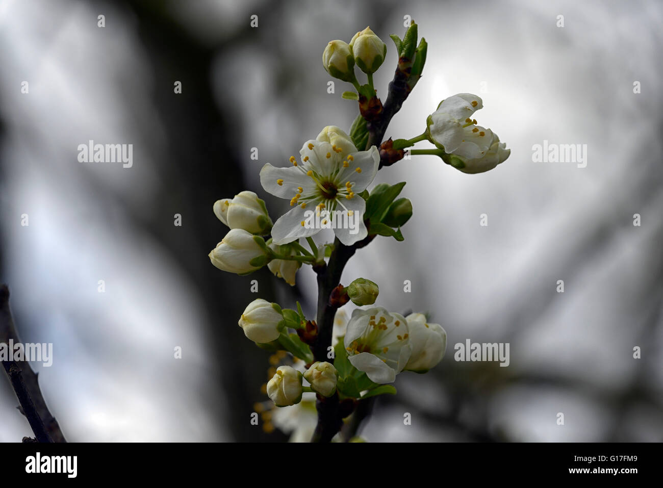 Prunus domestica Oullins Gage golden blossom damson prugna fiore primavera fiori bianchi blumi di alberi da frutta Immagini Stock