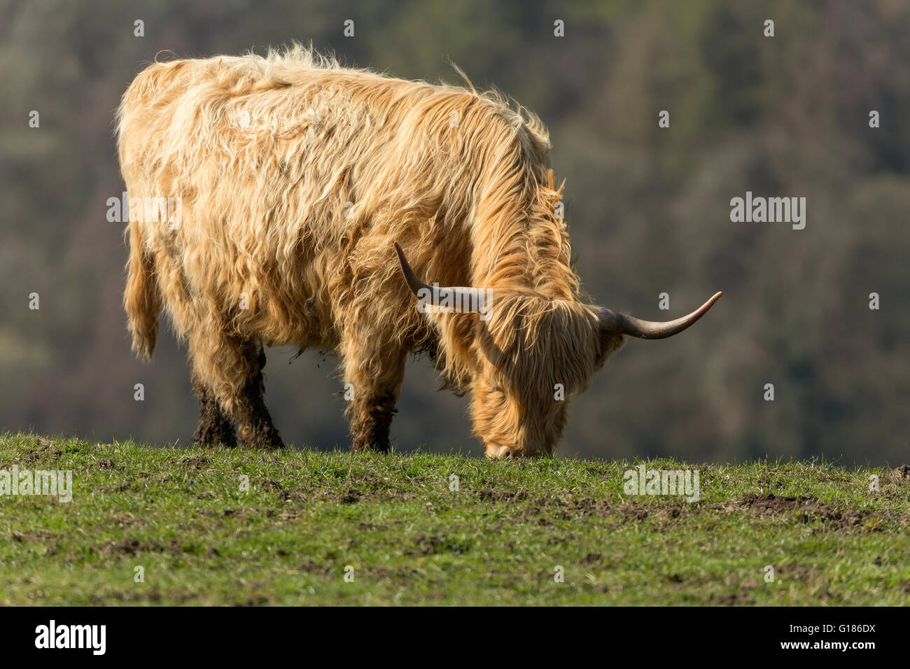 Highland mucca, Levisham, North Yorkshire Moors Immagini Stock