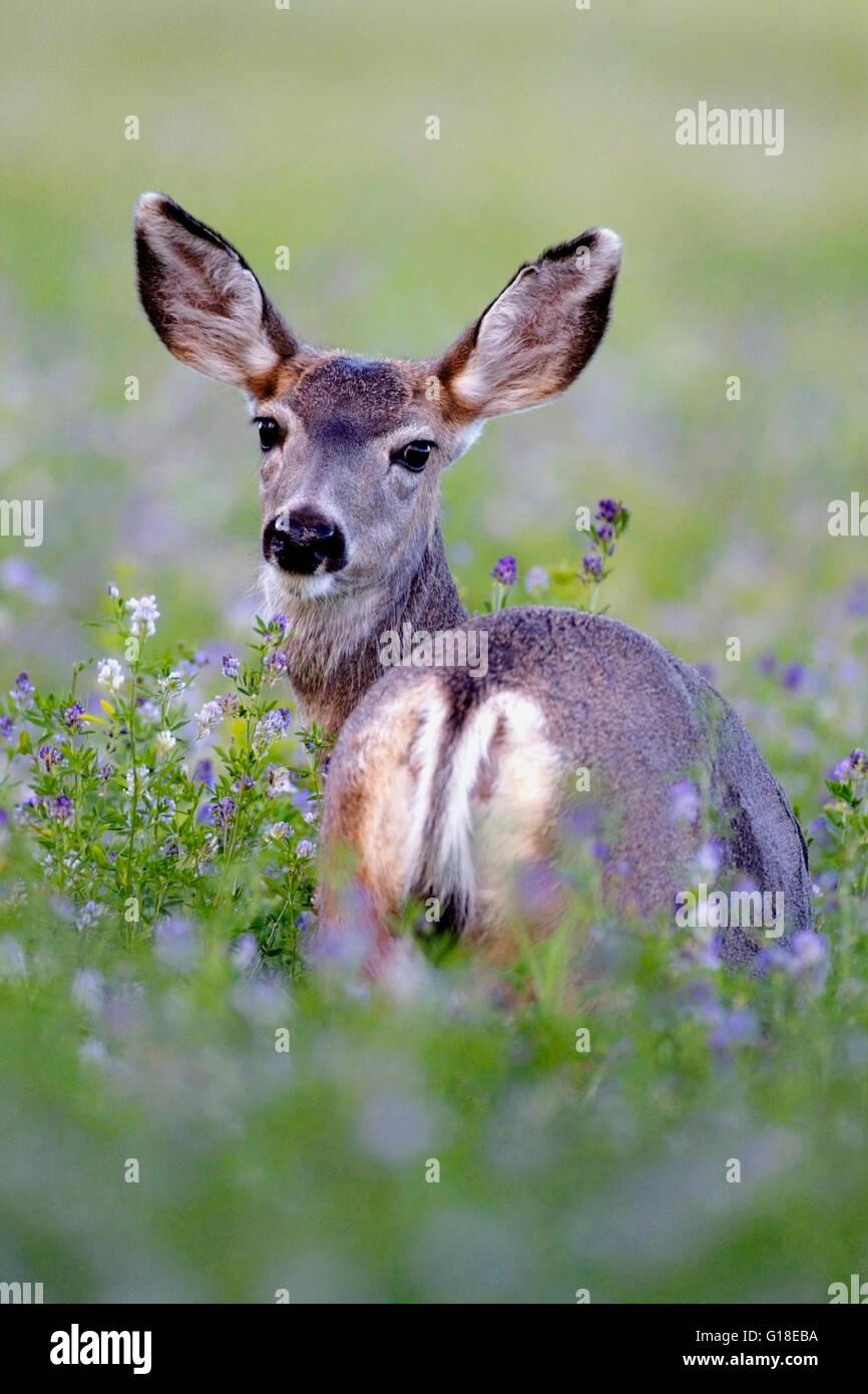 Mule Deer nel campo della fioritura di fiori di erba medica Immagini Stock