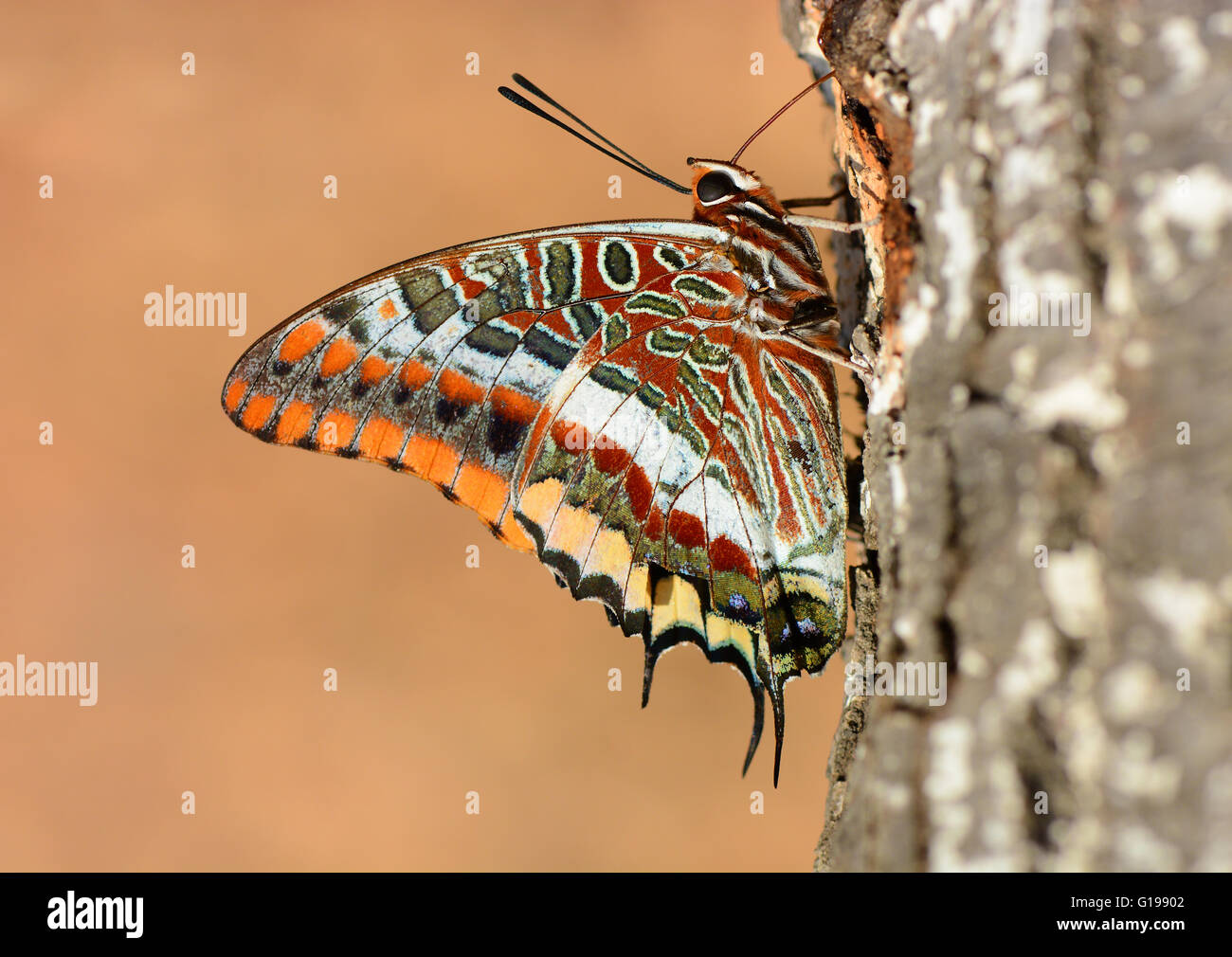 Due-tailed pasha bere a farfalla Immagini Stock