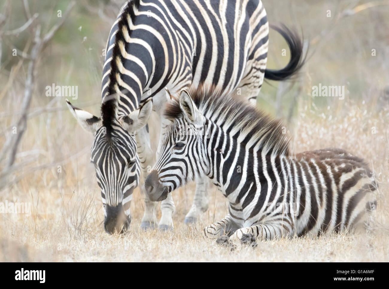 Le pianure zebra (Equus quagga) capretti sdraiato con la madre, il parco nazionale Kruger, sud africa Immagini Stock