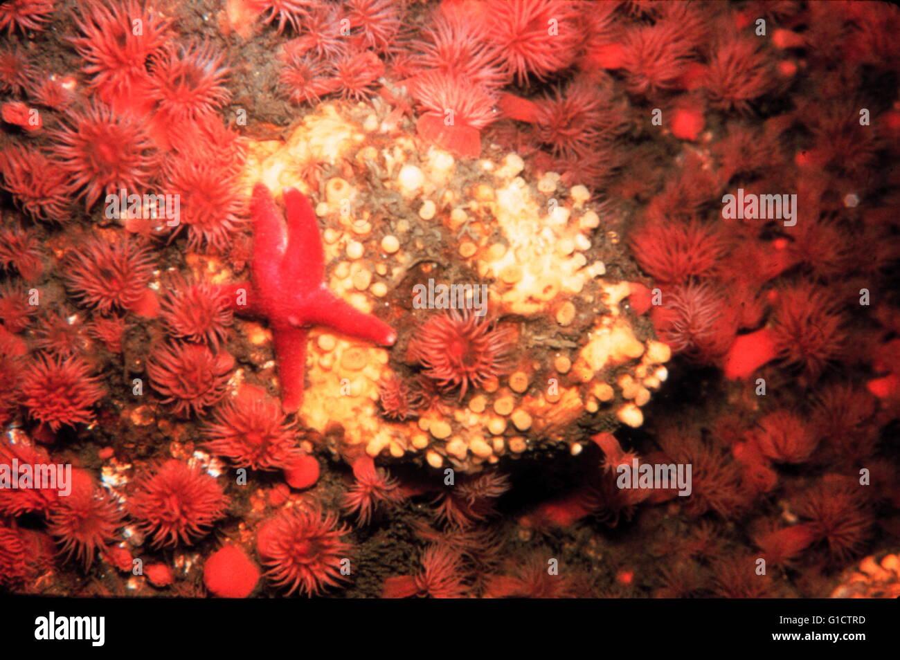 Starfish e anemoni in acqua fredda rocky comunità; Massachusetts costa; STATI UNITI D'AMERICA. 1988 Immagini Stock