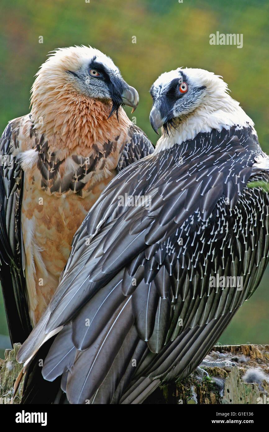 Coppia di avvoltoi barbuto in allevamento piumaggio seduti insieme Immagini Stock