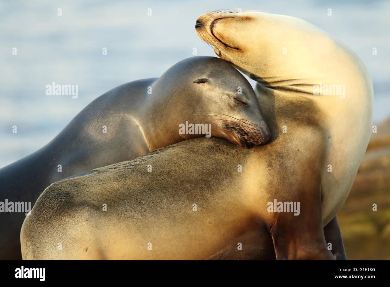 Una coppia di California i leoni di mare in una drammatica pongono di affetto. Immagini Stock