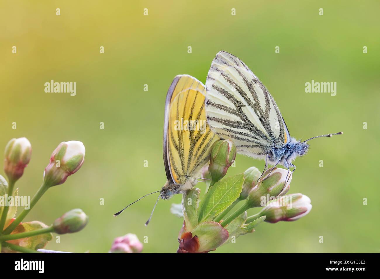 Animale, sfondo, bella, bellezza, fioritura, blu brillante, butterfly, cura, colore, colorato, giovane, giorno Immagini Stock