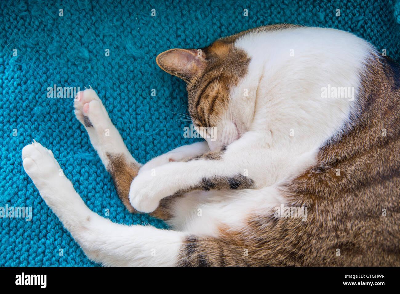 Tabby e white cat dormendo pacificamente. Immagini Stock