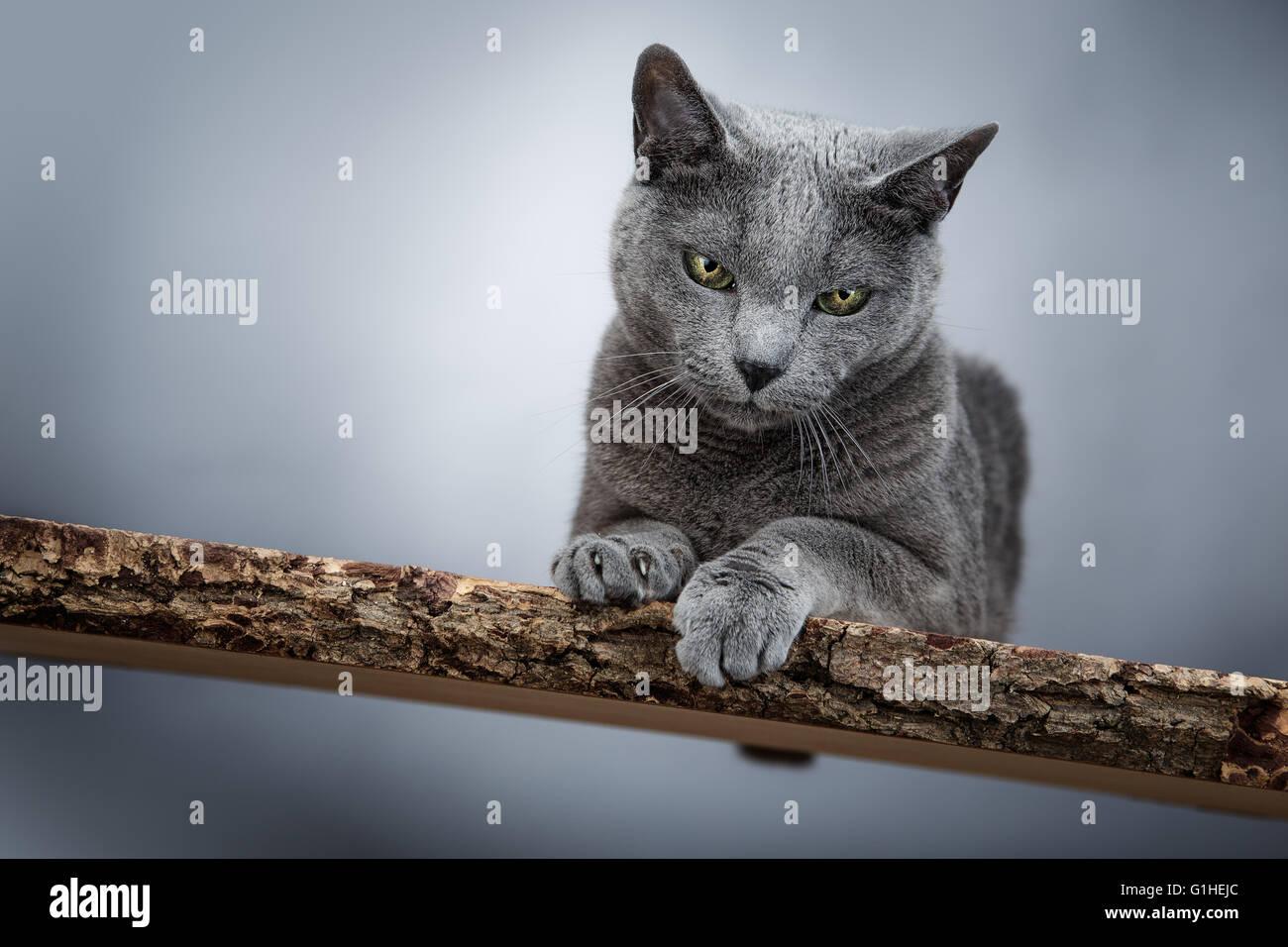 Blu di Russia gatto ritratto Immagini Stock