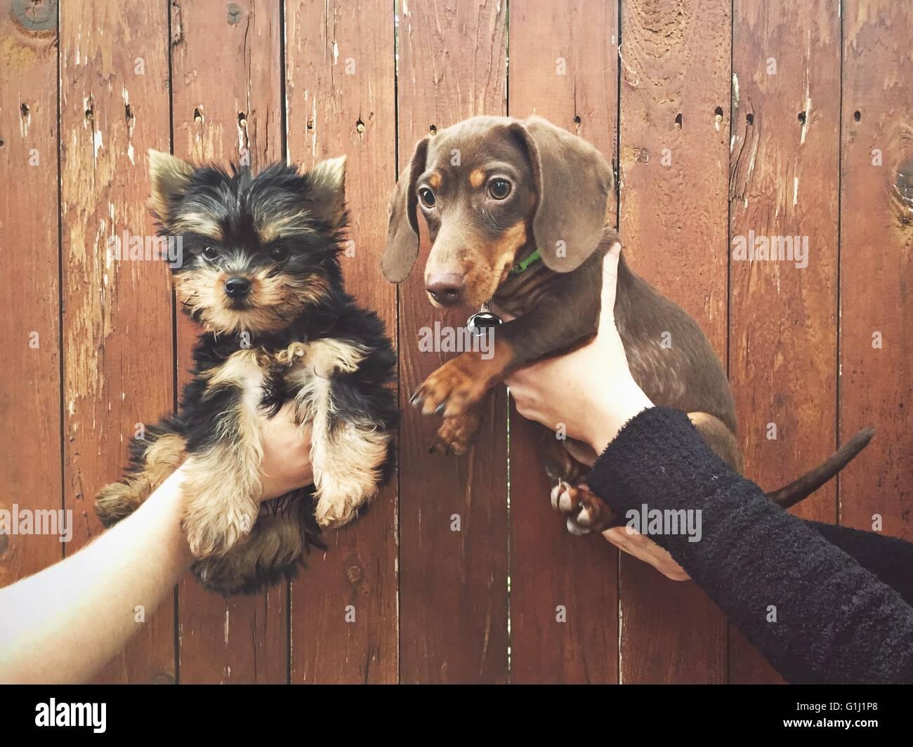 Le mani umane tenendo due cuccioli Immagini Stock