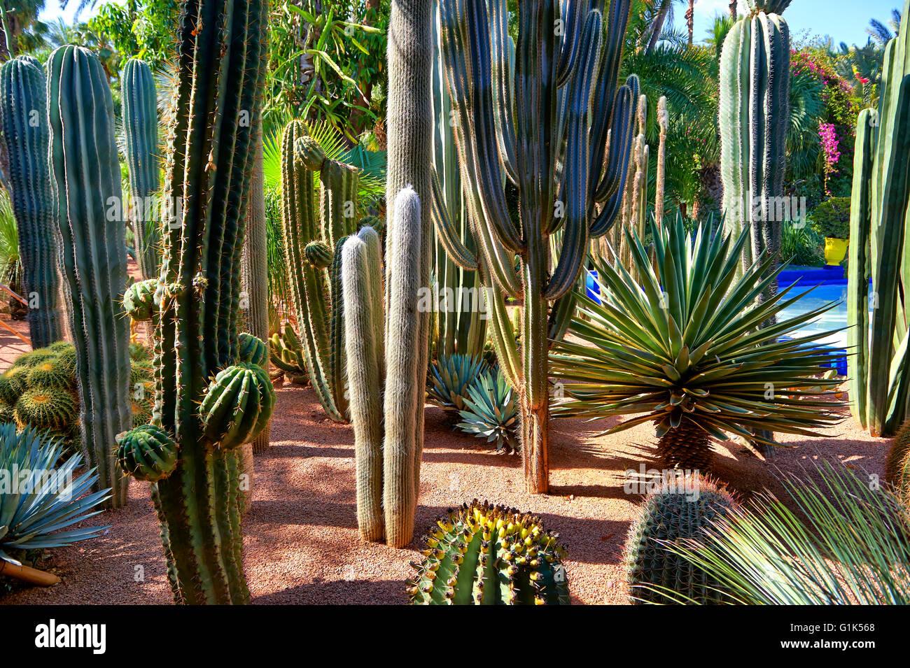 Catus nel Giardino Majorelle Giardino botanico progettato dall artista francese Jacques Majorelle negli anni venti Immagini Stock